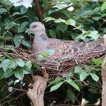 賃貸のベランダに鳩が巣を作っている…枝ごと切り落としても問題ない?